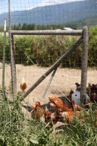 chicken, chickens, farming, organic, free-range, animal welfare, local food, slow food