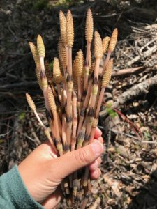 harvesting horsetail, foraging horsetail